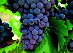 Emater RS avalia produção de frutas na Serra Gaúcha