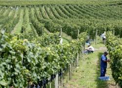 Safra de uva entra na fase final no Rio Grande do Sul