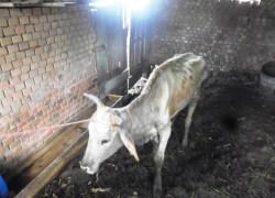 Arpa e Polícia Civil flagram maus tratos de animais em Pinto Bandeira