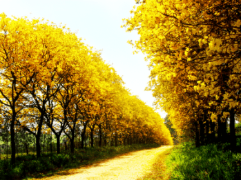 ipes amarelos