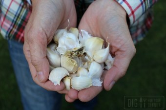 Planting Guide – How to Plant Garlic