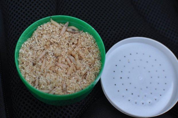 open box of maggots