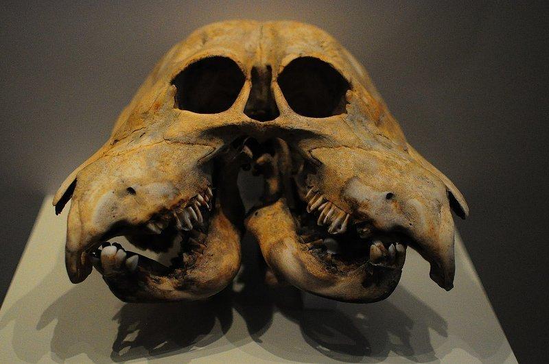 double skull