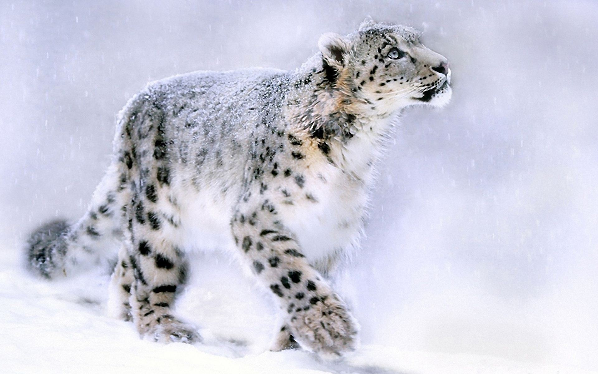 White Cute Cats Wallpapers White Leopard Www Imgkid Com The Image Kid Has It