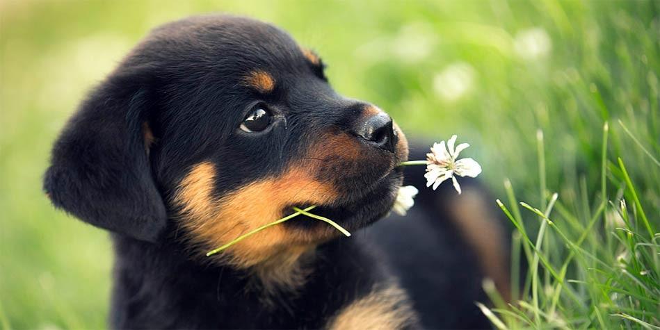 Cute Rottweiler Puppy Wallpaper Rottweiler Dinoanimals Com