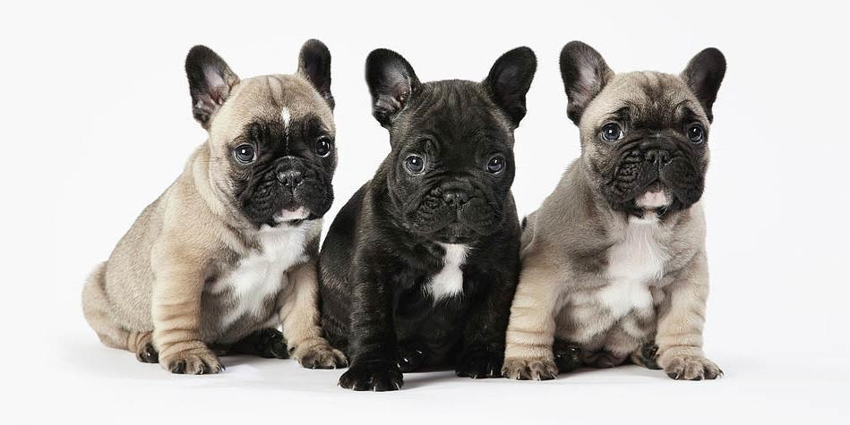 Cute Dog Pictures For Wallpaper Buldog Francuski Dinoanimals Pl