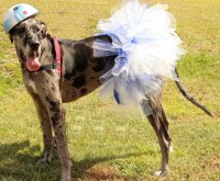 Halloween Costume for Large Breed Dogs & How to take your