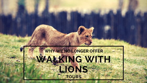 Why We No Longer Offer Walking With Lions Tours