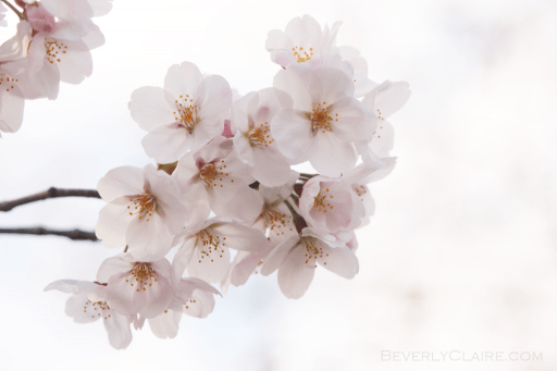 Pink Cherry Blossom Wallpaper Hd Hanami At Sumida Park In Tokyo Beverly Claire Discoveries