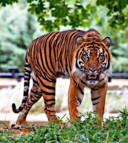 tiger-walking