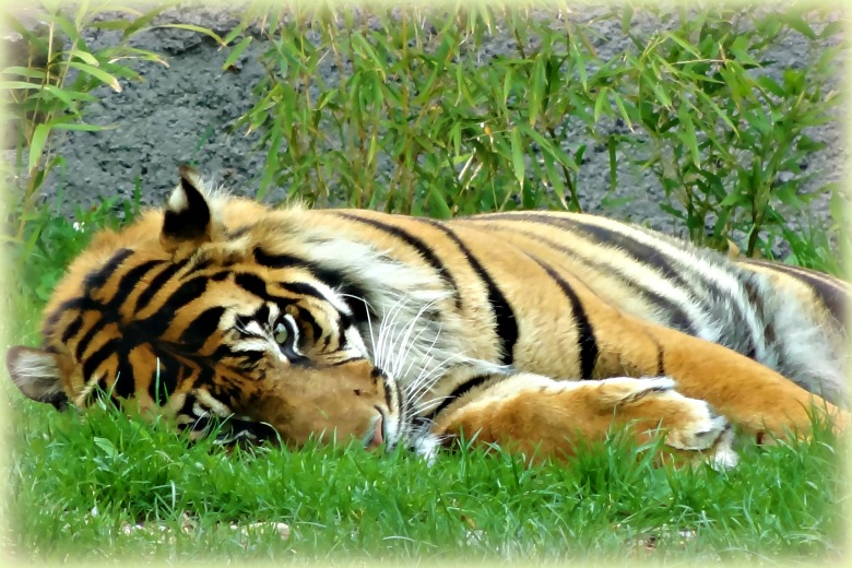 Sleepy tiger at the Dublin Zoo