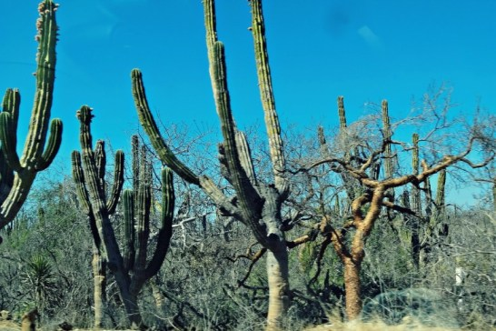 Such tall cactus trees!