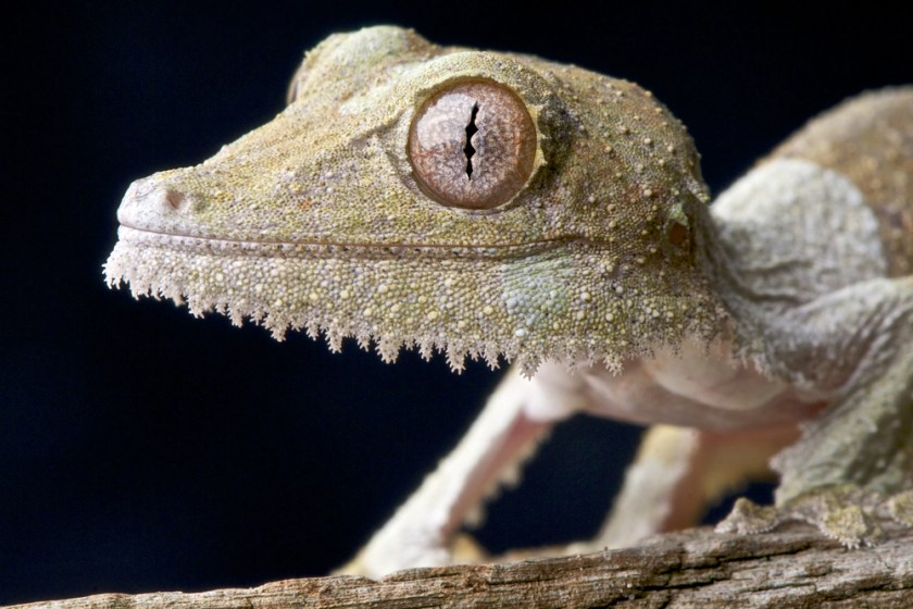 leaf-tailed gecko - animals with unique eyes