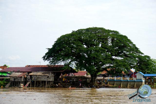 big tree along musi
