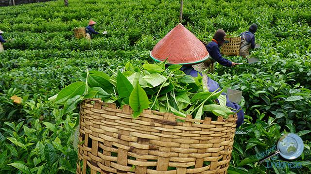 tea pickers in Tambi