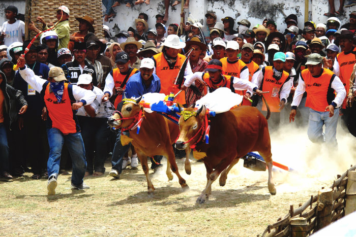 The bull racing season in Madura traditionally starts after the rice harvests have been collected.