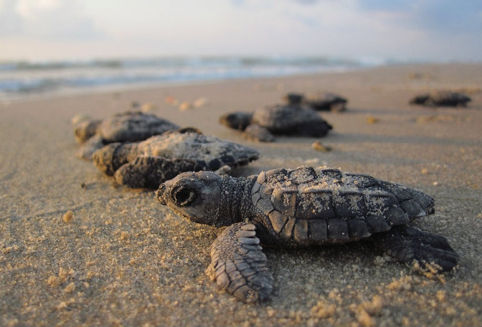 releasing-baby-turtles-things-to-do-nusa-dua