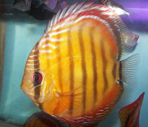 Discus Fish Sales USA   Discus Fish for Sale   Page 2