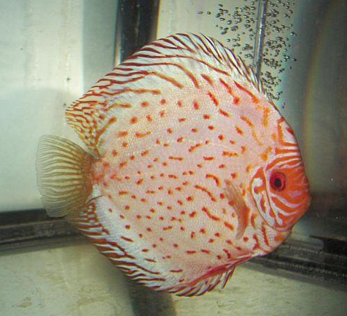 German Discus Fish   Discus Fish Sales USA
