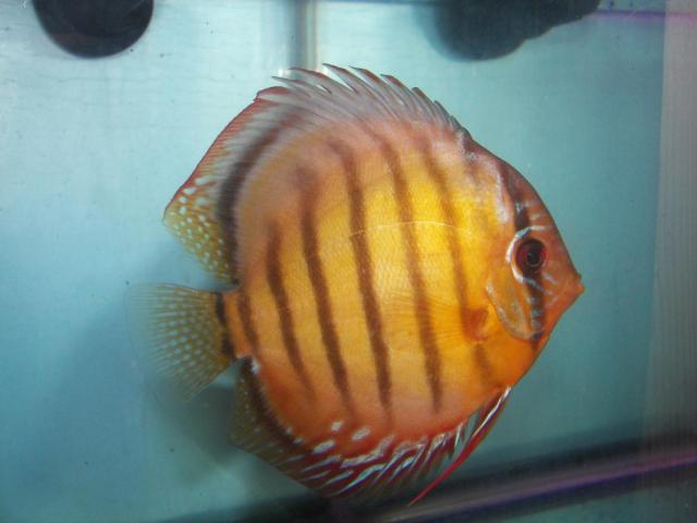 Wild Discus ?Altamira?   Discus Fish Sales USA