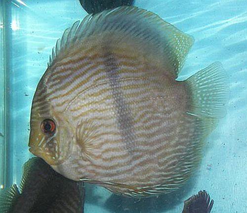 Wild Heckel Discus For Sale   Discus Fish Sales USA
