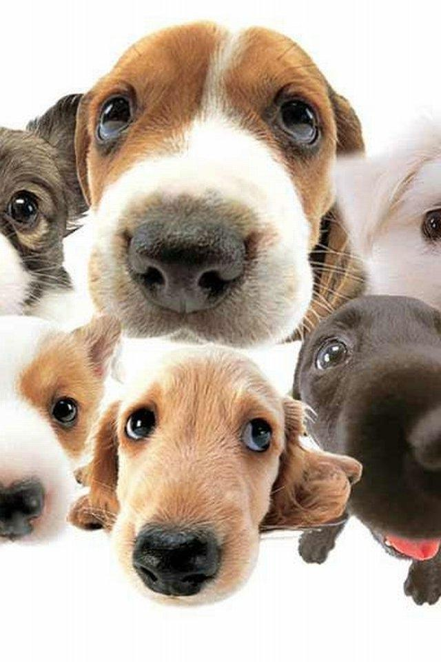Cute Puppy Iphone Wallpaper 【かわいい系】可愛い犬たち Iphone壁紙ギャラリー