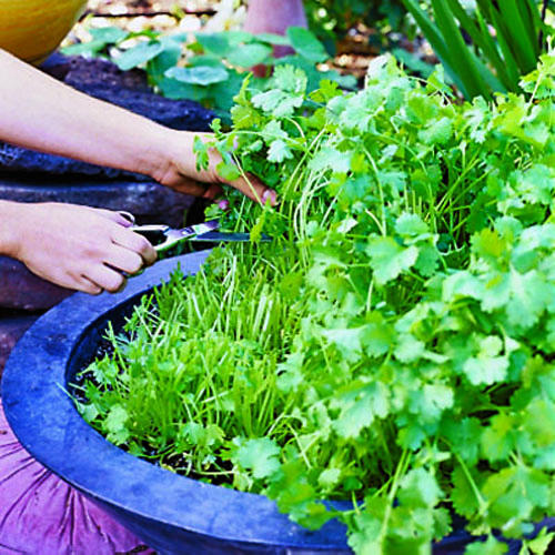 Diy Herb Garden Ideas : #5 Growing Cilantro Step By Step Care