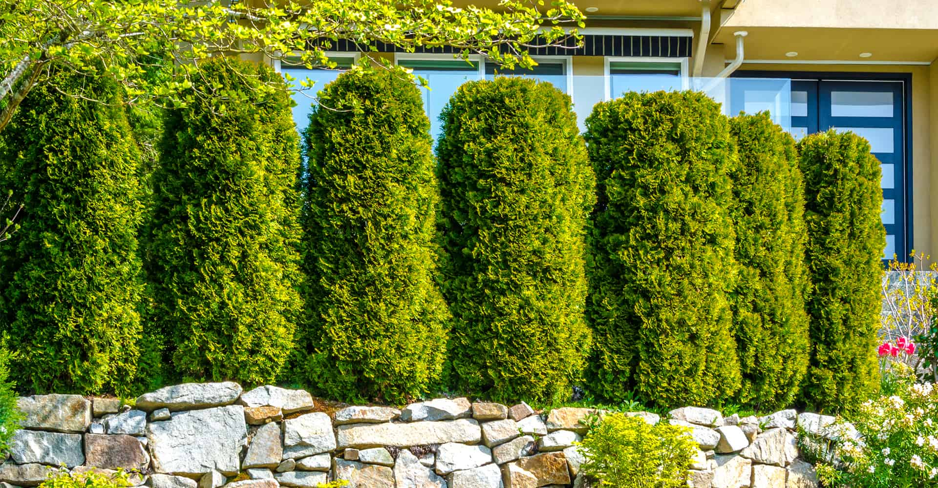 Garden Trees 7 Fast Growing Trees For Ultimate Privacy In Your Garden