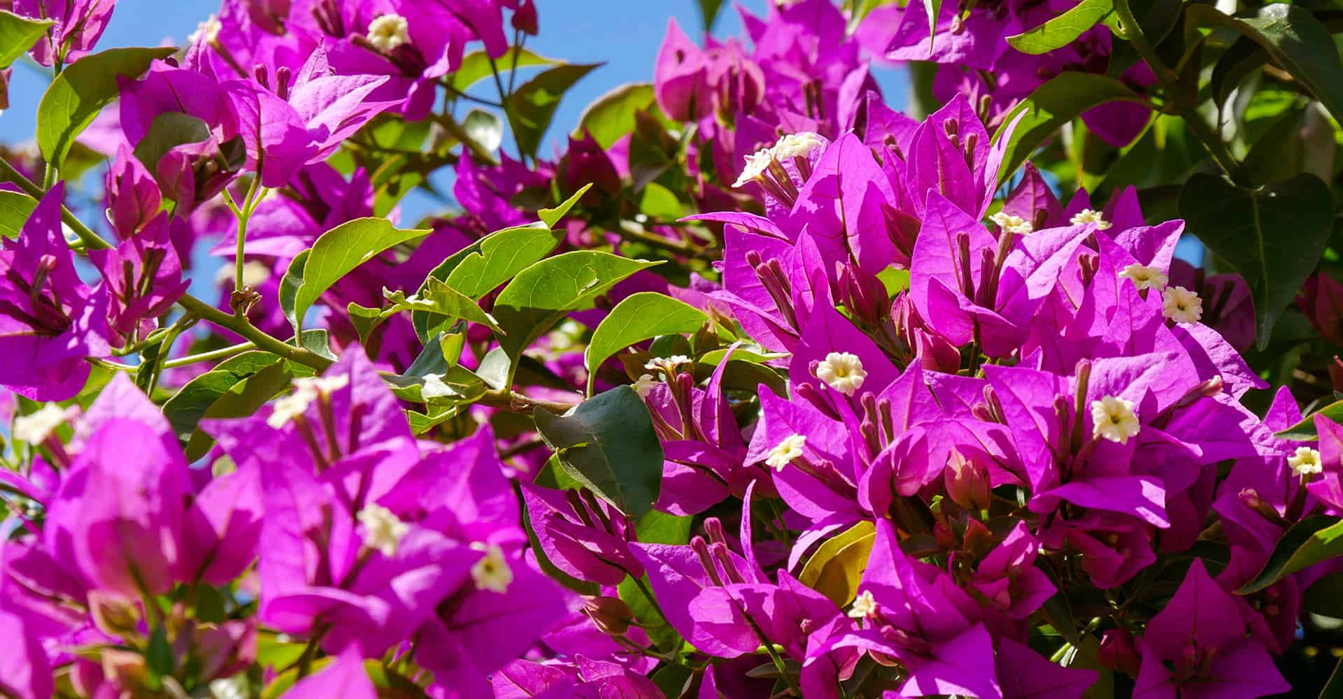 Clematis Pflege Bougainvillea Care Guide: How To Grow Bougainvillea | Diy