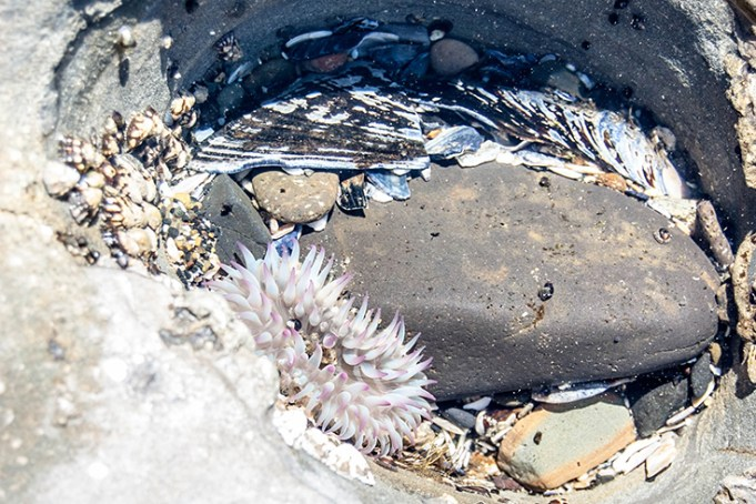 sea anemones at Devils Punchbowl Natural Scenic Area