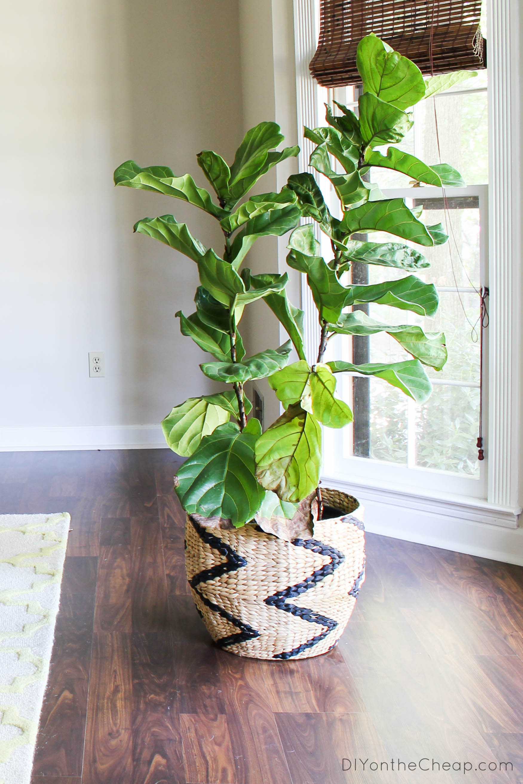 Fiddle Leaf Fig Tree Attempting To Have A Green Thumb 43 Recent Finds Erin Spain
