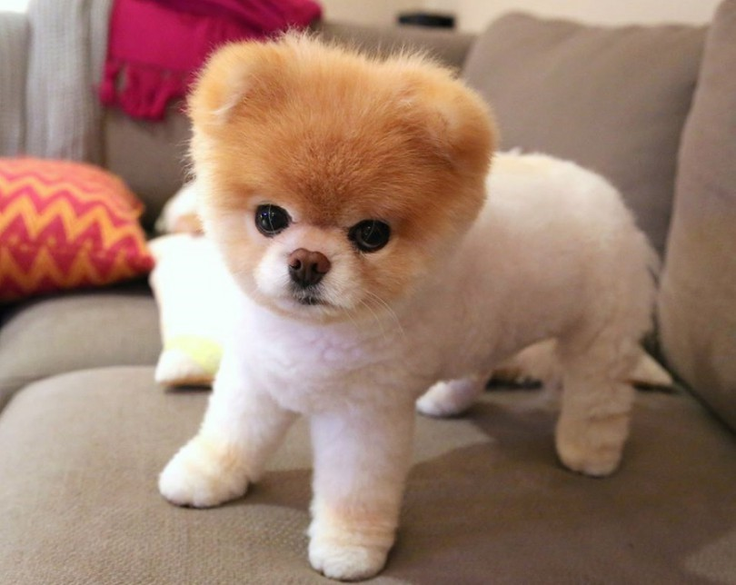 Cutes Girl Wallpaper Ever Pomeranian Boo Cel Mai Simpatic Caine Din Lume Dkwy