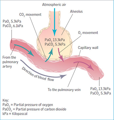 Respiratory system part 2 gaseous exchange