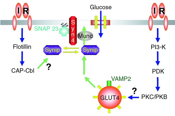 JCI - Signaling pathways in insulin action molecular targets of