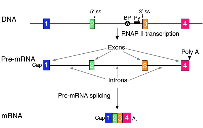 JCI - Messenger RNA reprogramming by spliceosome-mediated RNA trans