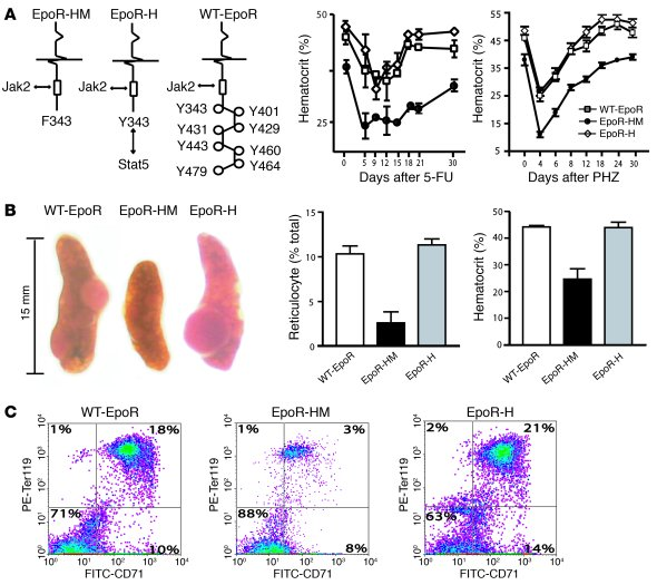 JCI - Signals for stress erythropoiesis are integrated via an