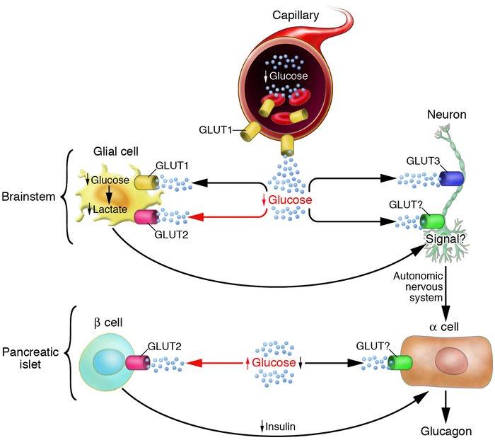 JCI - Desperately seeking sugar glial cells as hypoglycemia sensors