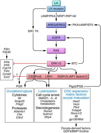 JCI - The ovary basic biology and clinical implications