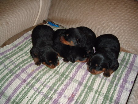 Cute Rottweiler Puppy Wallpaper Baby Rottweilers Dogs Amp Animals Background Wallpapers On