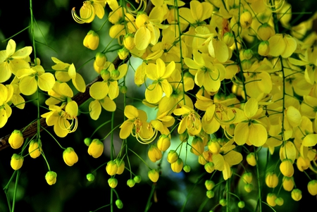 Vishu Hd Wallpapers Kanikonna Flowers Amp Nature Background Wallpapers On