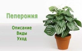 Пеперомия (Peperomia). Описание, виды и уход за пеперомией