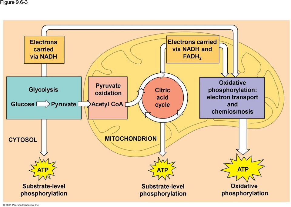 Cellular Respiration and Fermentation - PDF