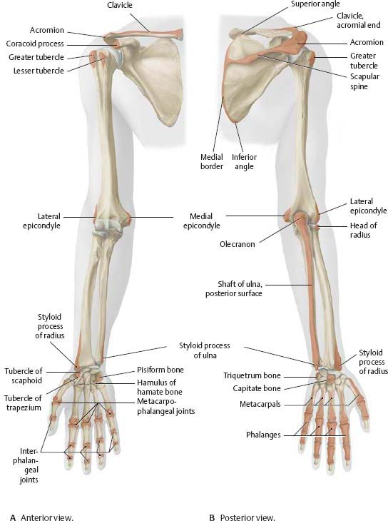 Arm bones Anatomy - diagrams Pinterest Anatomy and Gross anatomy - lined chart paper