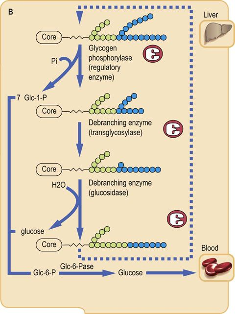Carbohydrate Storage and Synthesis in Liver and Muscle - Medical