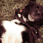 Why Does Your Dog Like Belly Rubs?