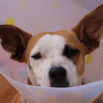 Pup Can't Hear You? Try Cleaning Their Ears