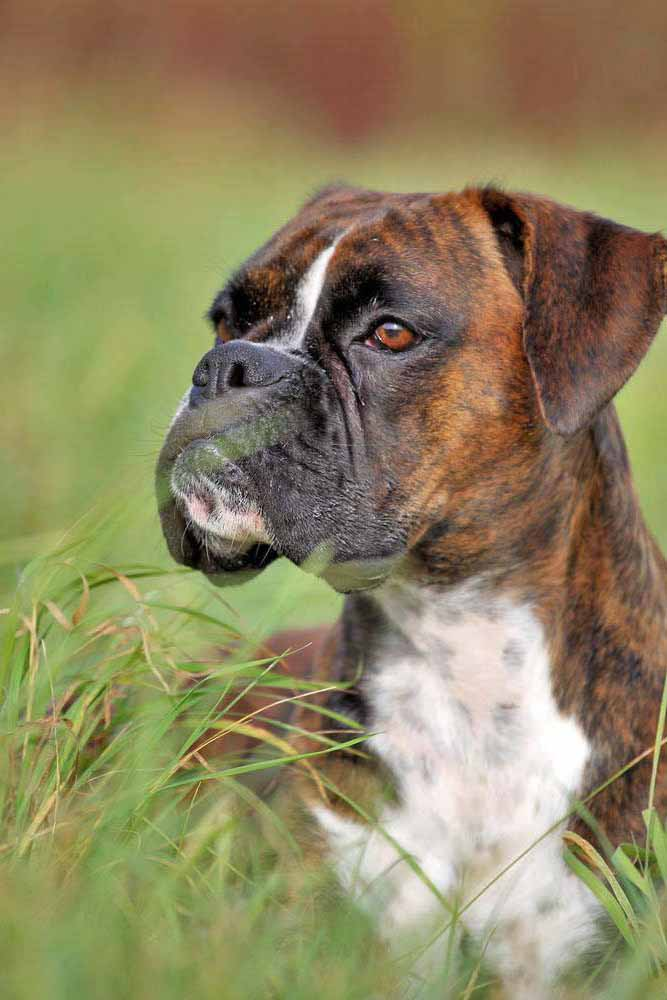 Top Boy Names Female Boxer Dog Names: Perfect For Your Girl Boxer