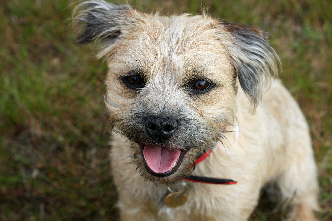 Pet Fox For Sale Australia Dog Breeds Border Terrier Dog Temperament And Personality