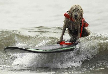 surf-dog-7_2009753i
