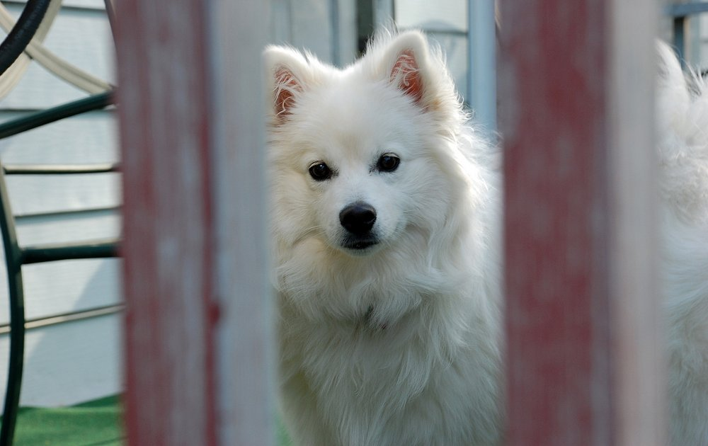 Hd Life Wallpapers American Eskimo Dog Photos Amp Pictures Dog Breed Atlas
